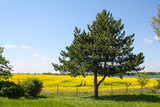 Fields of spring flowers, Europe. Pineapple tree, yellow flowers, blue sky and clouds.