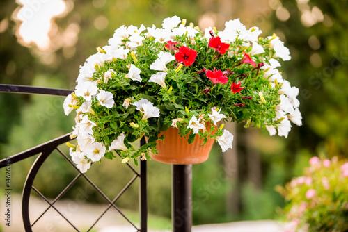 Blumentopf im Freien, der am Stahlzaun hängt. Rote und weiße Petunien.