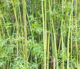 Fundo verde com bambus.