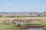 Zebras in Africa at Watering Hole
