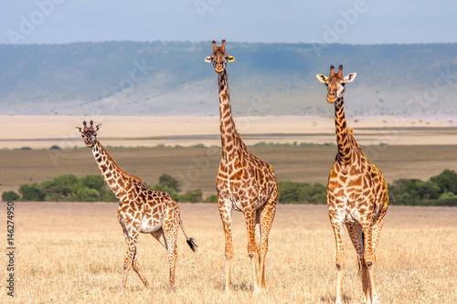 Poster Giraffe Family