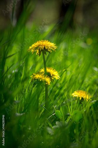des pissenlits en format vertical derrière l'herbe d'un pré