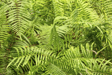Patch of southern shield ferns in the Florida Everglades.