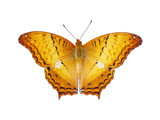 op view of orange butterfly with flying wings isolated on white background