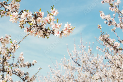 Almond trees in bloom in Spain, selective focus Poster