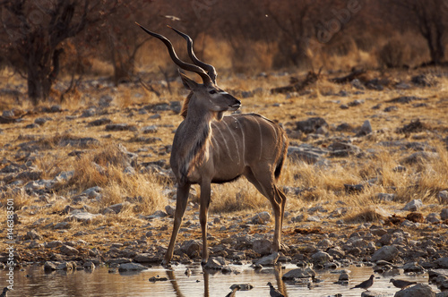 Poster Greater Kudu in a waterhole in the Etosha National Park in Namibia; Concept for