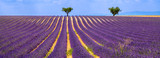 Horizontal panoramic of a lavender field with olive trees in Valensole on Summer afternoon. Southern Alps (Alpes de Haute Provence), South of France. - 146387111