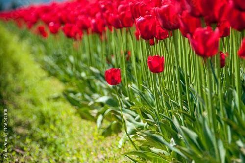Fotobehang Tulpen Tulips Trying to Be Free
