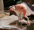 Flamingo drinking water A flamingo with neck bent as it drinks water from the pond