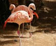 Two flamingos standing back to back
