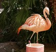 Flamingo standing with palm leaves