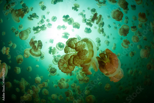 Poster Water planten Millions of Jellyfish in the Republic of Palau
