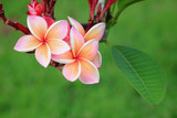 Pink frangipani flower on plant