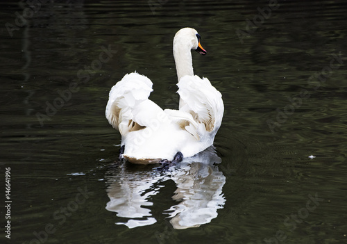 Fotobehang Swans - Cygnus in the water, bird scene