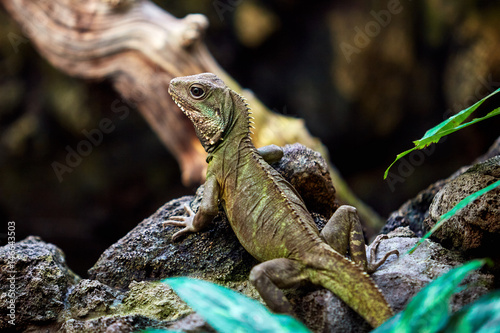 Green skin lizard looking. A beautiful Lizard Poster