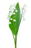 Convallaria majalis flowers
