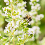 Bee covered in pollen on thyme