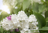 spring wonders in the garden/ Small purple flower in a bouquet of white lilac - 147016740