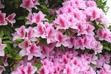 ピンク色のツツジ