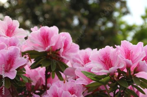 Deurstickers Lichtroze ピンク色のツツジ