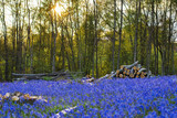 Bluebells in the woods in England