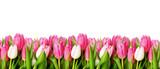 Pink tulip flowers border - 147116908