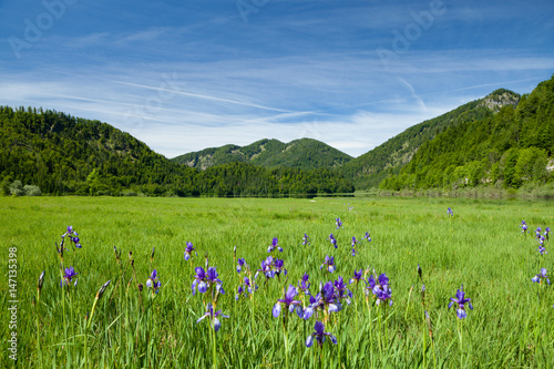 Plexiglas Iris Schwertlilien mit Seeblick