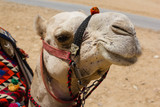 A camel at the Great Pyramids of Giza