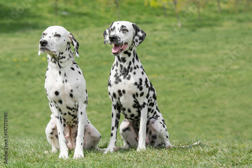 Juliste Portrait of Two young beautiful Dalmatian dogs