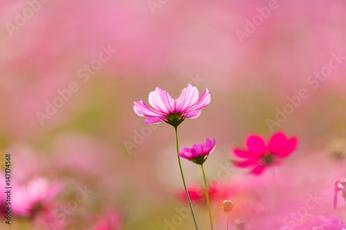 Foto op Canvas Candy roze Cosmos flower meadows,Cosmos,flowers cosmos of Singha Park Chiang Rai,Chiang Rai, Thailand.