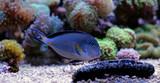 Sohal Tang - Majestic red sea fish