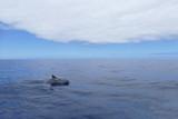 Delfin taucht auf und ab, Inia