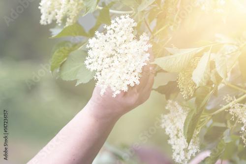 Czech Republic - collecting elder blossom flower © Miroslav Beneda