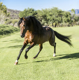 Thoroughbred wild horse - 147246138