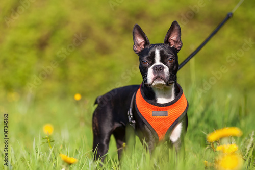 Boston Terrier puppy in the meadow