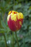 tulipe rouge et jaune dans un jardin public