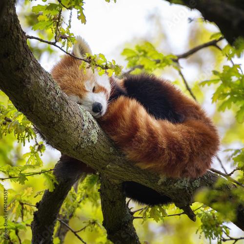Fotobehang Panda Red panda sleeping in a tree