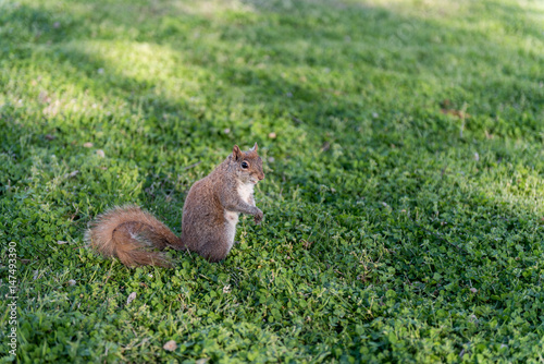 Squirrel in the park. Sitting on the grass and eating peace of food