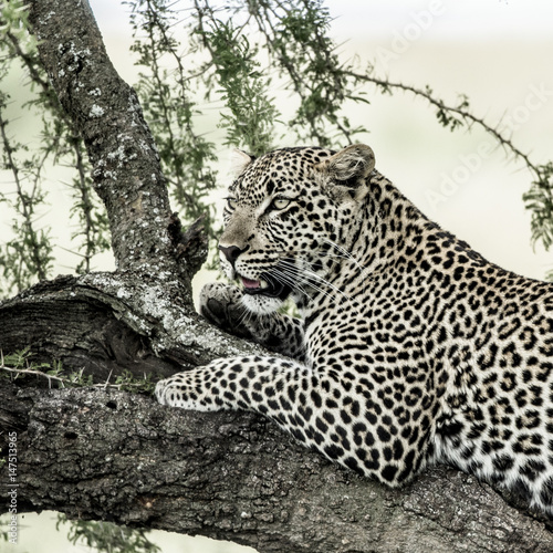 Plexiglas Panter Leopard lying on a tree branch in Serengeti National Park