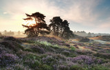pine trees and heather flowers at sunrise