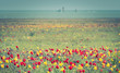 Wild tulips of red and yellow in green grass