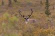 Barren Ground Caribou Bull in Velvet