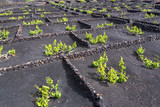 Famous vineyards of La Geria on volcanic soil in Lanzarote, Canary Islands, Spain