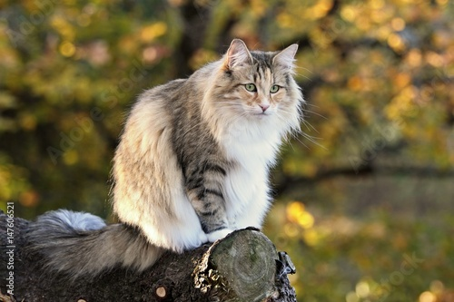 Poster Norwegian forest cat female in a forest