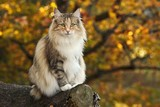 Norwegian forest cat sits in a forest