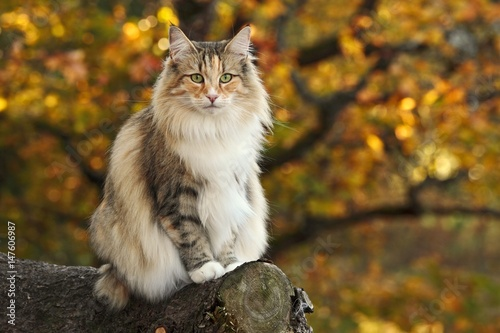 Norwegian forest cat sits in a forest Poster