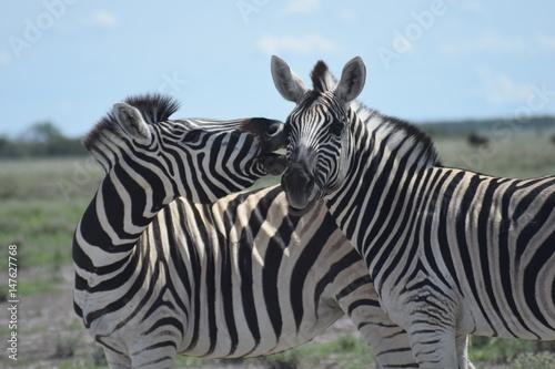 Poster Zebras Namibia