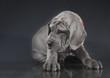 Purebred Great Dane puppy