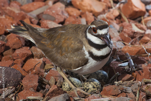 Killdeer on a nest with eggs Poster