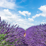 fresh Lavender field with summer blue sky close up with copy space on sky background, France